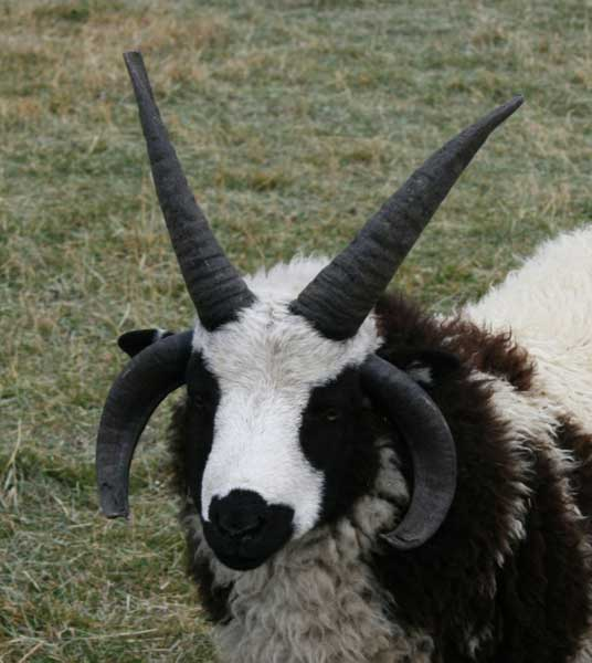 FourHorned Sheep  All About Exotics